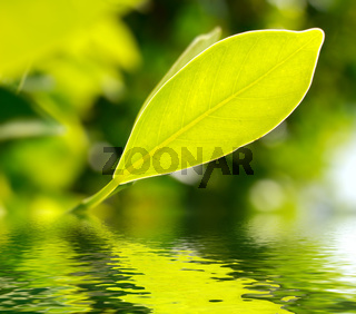 Fresh green leaf highlighted by sun on water