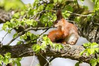 Red Squirrel 24