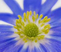 Blue winter windflower anemone blanda