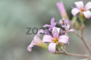 Pink flower in the silver bushes