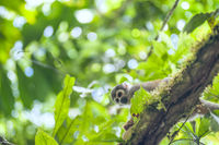 Squirrel Monkey from the jungles of Ecuador