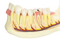 Model human jawbone with teeth on white background