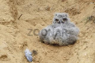 aus dem Nest gefallen... Europäischer Uhu *Bubo bubo*