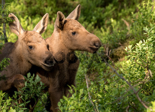 European elk Alces alces two twin calves in bilberry bushes
