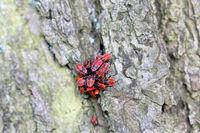 Red insect firebug Pyrrhocoris apterus on a tree trunk bark