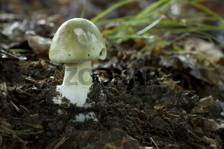 Amanita Phalloides - Grüner Knollenblätterpilz