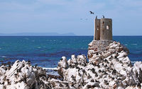 colony of Cape cormorants, South Africa