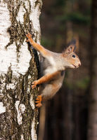 Red squirrel posing on the birch