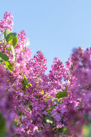 Lilac brunch at the blue sky background