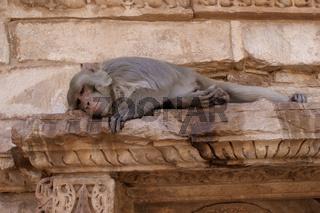 Hanuman-Langur (Semnopithecus) auch als Hulmane