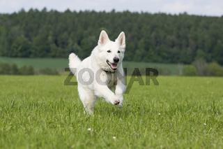 weisser schweizer schaeferhund, amerikanisch kanadischer schaeferhund