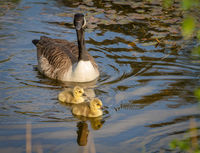 Canada Goose with two goslings on the water in natural surroundings