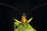 Laubheuschrecke Spiny devil (Panacanthus various)