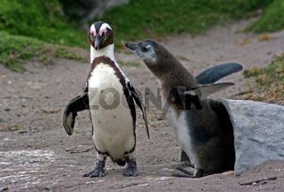 Brillenpinguine, Südafrika, African penguin