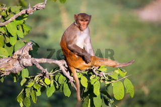 Rhesus macaque sitting on a tree near Galta Temple in Jaipur, Rajasthan, India