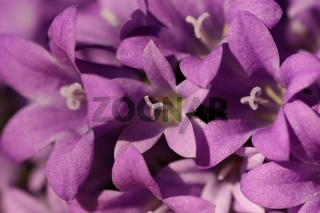 Nahaufnahme von Glockenblumenblueten