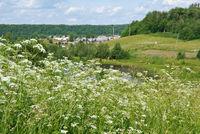 Aegopodium. summer meadow