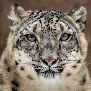 Snow Leopard Closeup