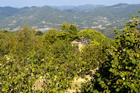 Plantation of hazelnuts, Tonda Gentile del Piemonte, Bergolo, Province of Cuneo, Piedmont, Italy