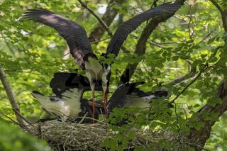 Fütterung am Nest... Schwarzstorch *Ciconia nigra*