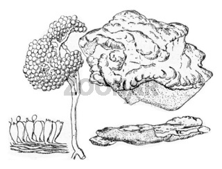 Polyporus sulphereus, vintage engraving.