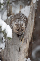 covered with snowflakes... American Pine Marten *Martes americana*