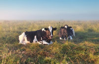 two relaxed cows lying on pasture
