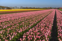 Field of pink tulips of the species Lady Van Eijk, Bollenstreek, Netherlands