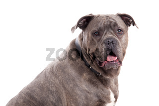 Bull mastiff with tonque