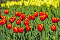Holländische Tulpen