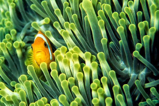 hidden Anemone Fish