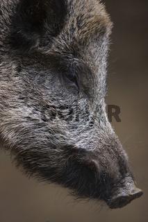 Wildschwein, Detail, Kopf, Sus srofa, Wild boar, head