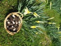 Punnet with fresh black morels near daffodils.