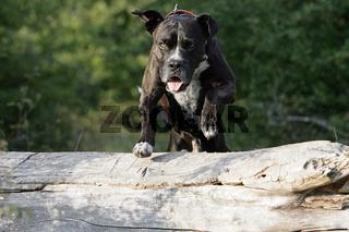 springender cane corso