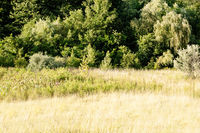 Summer Nature Forest Front. Landscape at sunset. Trees and tall grass in day sunshine.
