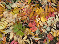 Leaves of mountain ash in autumn