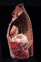 Präparat, Plastinat, Bauchraum mit Zwerchfell,  Menschen Museum,