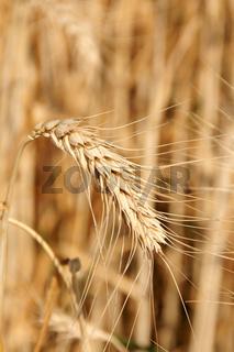 Wheat close-up