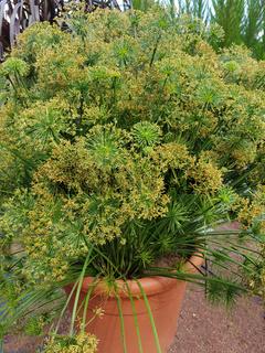 Zypergras, Cyperus cultivars, Nabucco, Wasserpflanze