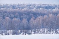 Birch forest under hoarfrost in winter season