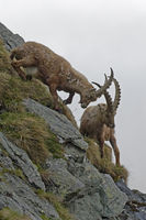 Alpine Ibex or Steinbock (Capra ibex), fight, Grossglockner, Hohe Tauern National Park, Tyrol, Austr