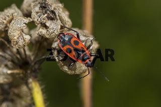 Gemeine Feuerwanze, Pyrrhocoris apterus, firebug