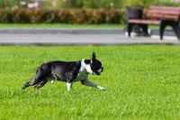 bulldog plays on the grass