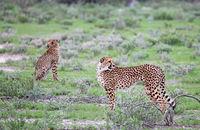 cheetahs at Etosha National Park, Namibia