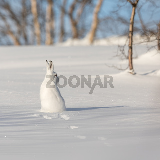 The mountain hare, Lepus timidus, in winter pelage, sitting with its back towards camera, looking right, in the snowy winter landscape with birch trees and blue sky, in Setesdal, Norway. Square image