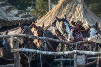 Gaucho takes care of his horse in the campo