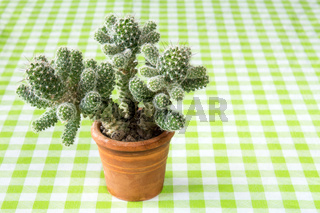Cactus on the checkered tablecloth