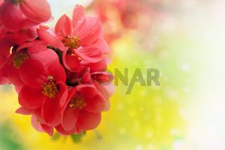 Japanese flowering crabapple