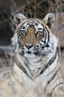 indischer tiger, koenigstiger, panthera tigris tigris, indien, asien, royal bengal tiger, india, asia