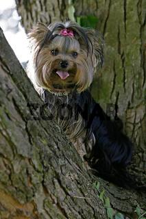 Yorkie im Baum